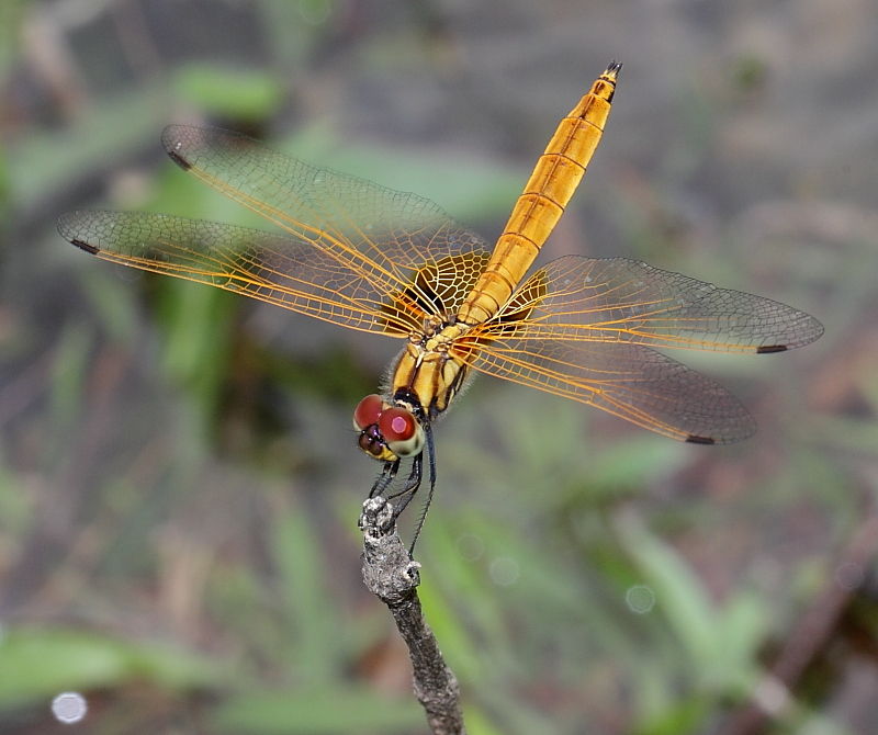Immature Male