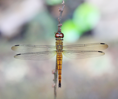 immatured female, brownish yellow